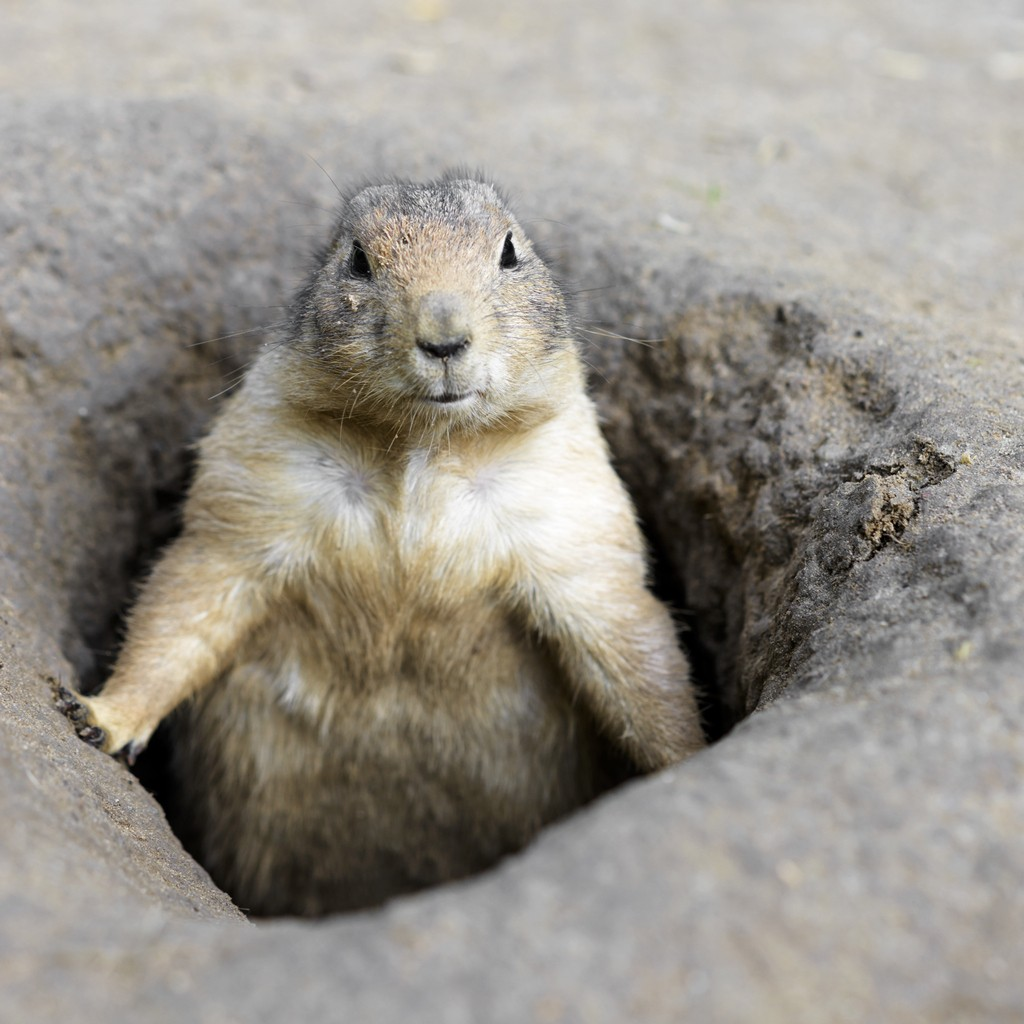 Prairie Dog In Den