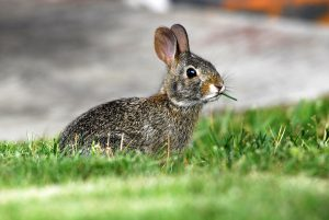 Rabbit eating lawn