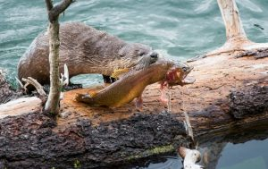 River otter eating trout