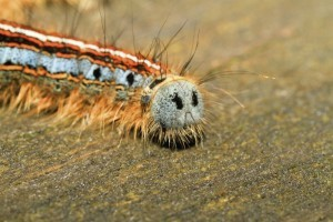 TENT CATERPILLAR CLOSEUP