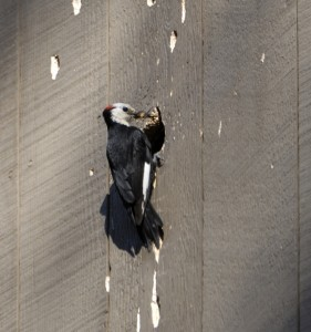 WOODPECKER NESTING IN WALL