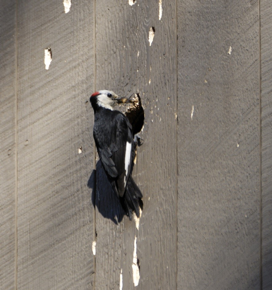 woodpecker control and treatments for use on the home and in