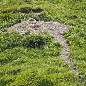 Woodchuck burrow in field