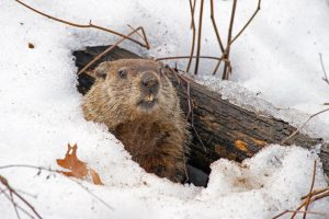 Woodchuck coming out of den in winter