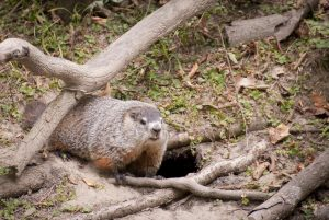 Woodchuck den under tree