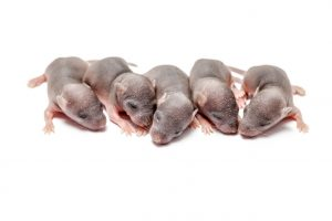 Mouse litter of five babies