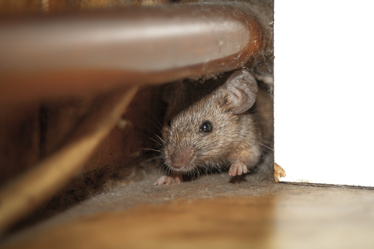 mice control traps bait poison lure and treatments for the home