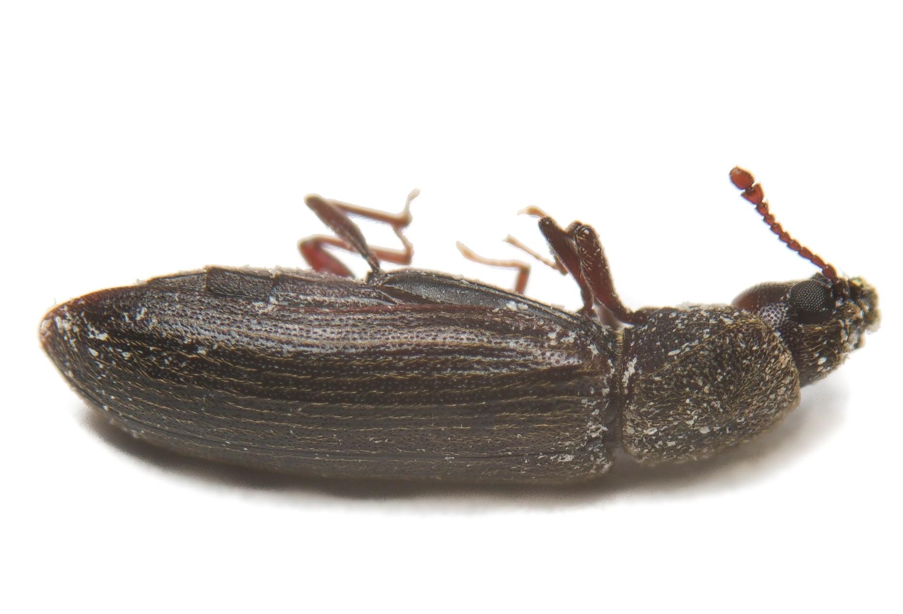 Wood Beetle Control Pest Control Chemicals 800 877 7290