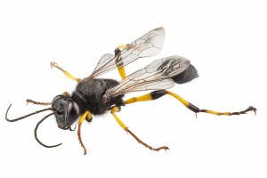 BLACK YELLOW MUD DAUBER