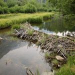 Beaver dam on small river is a good place to set traps