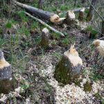 Beaver damage to several trees