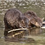Beaver mother and young gathering wood