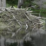 Beaver lodges will usually have active trails close by