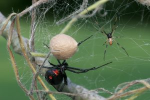 Black Widow Female and Male with Egg Sac