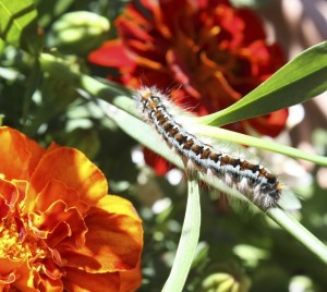 CATERPILLAR ON FLOWERS