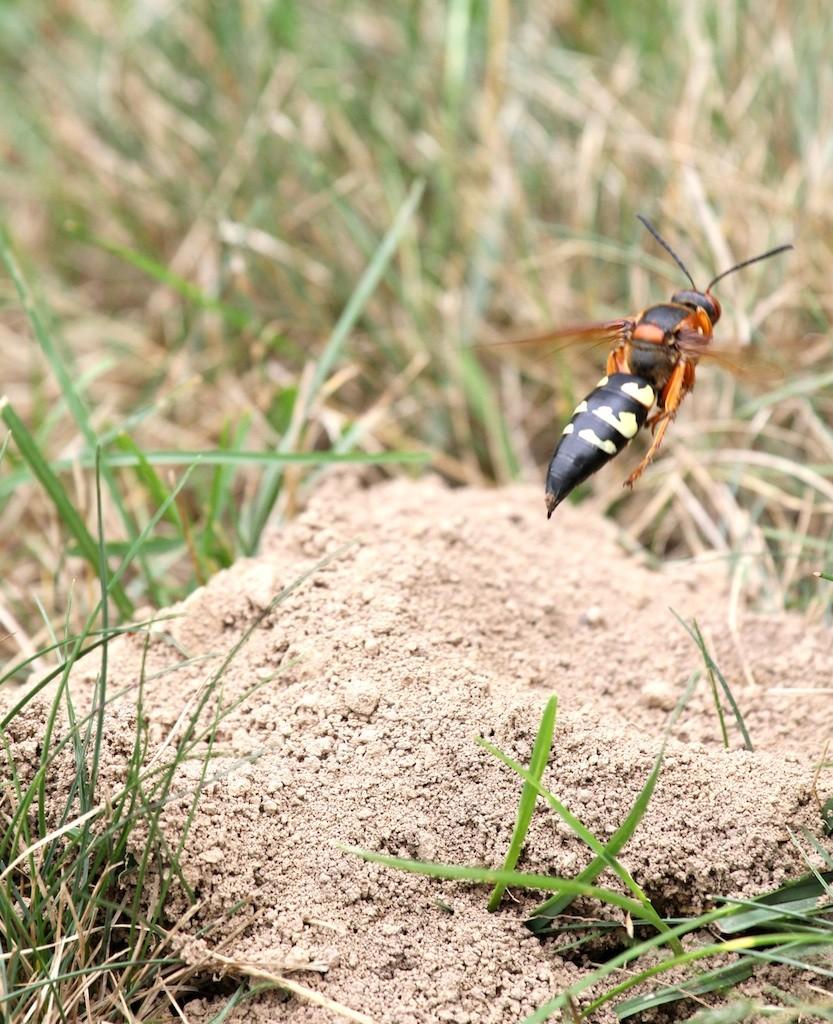 CICADA KILLER CONTROL, Cicada Killer Control, cicada killer