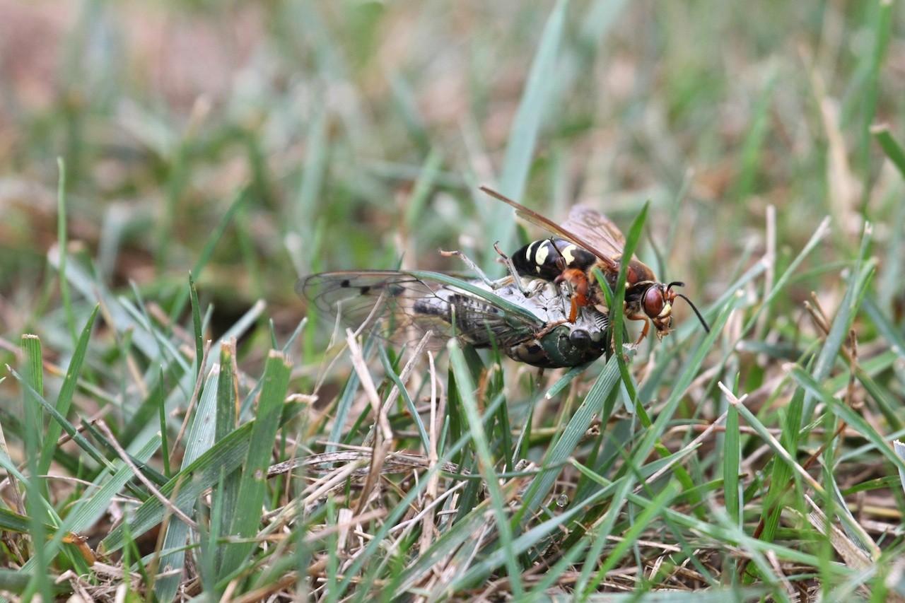 cicada - photo #37