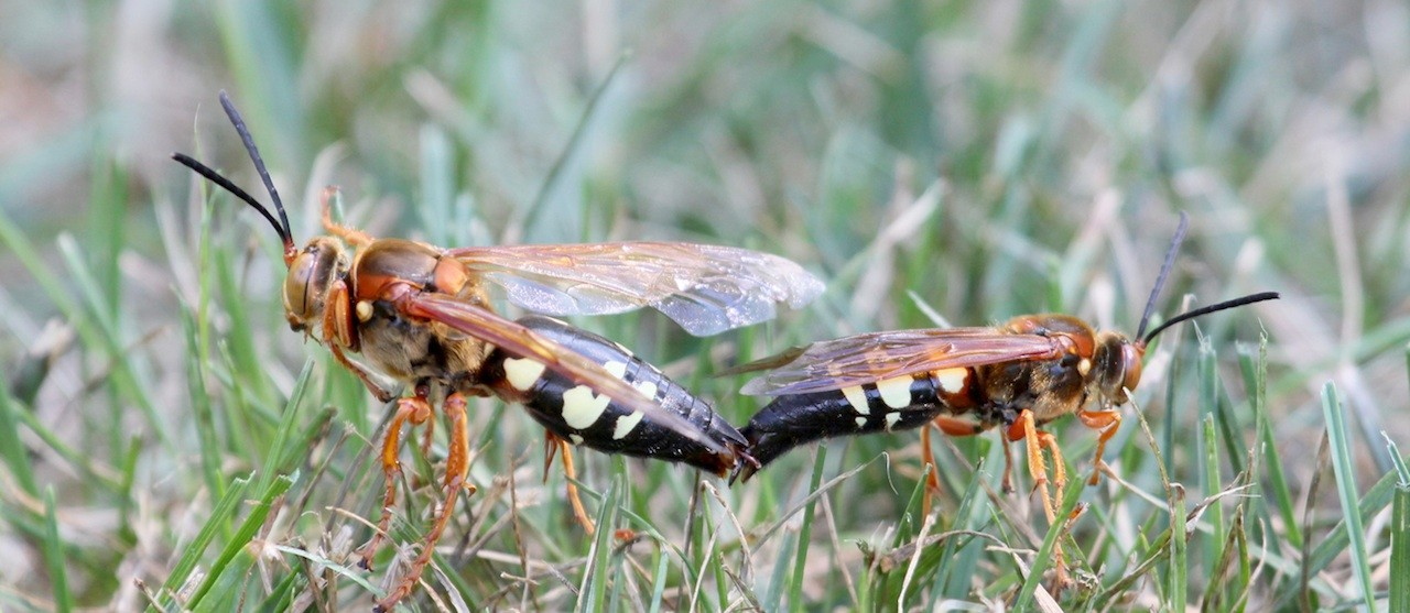 how to get rid of cicada killers cooper pest - 1280×557