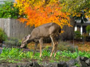 Deer eating flowers.