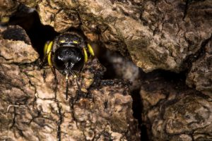 DIGGER WASP NEST IN WOOD CHIPS