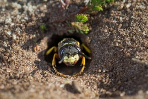 DIGGER WASP NEST IN DIRT