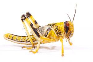 Dessert Locust