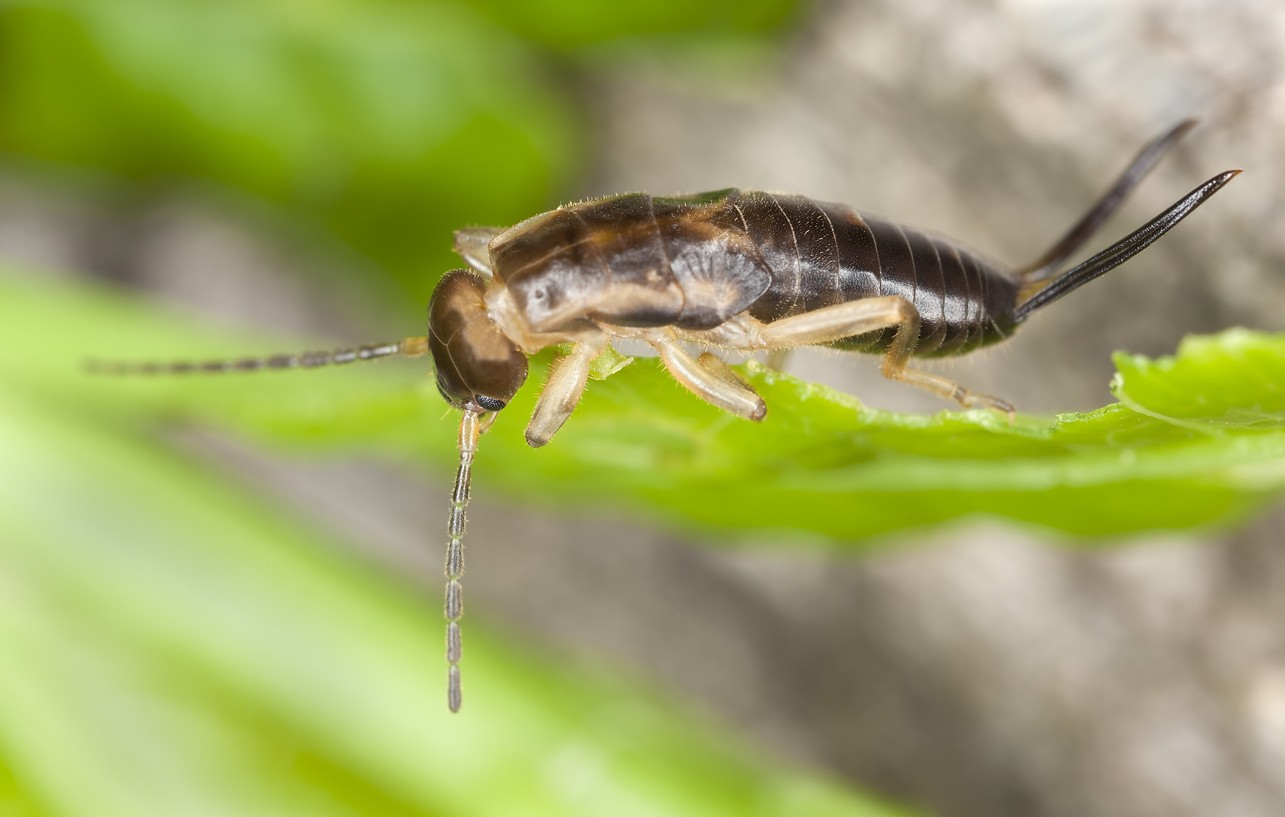 earwig control and treatments for the home yard and garden
