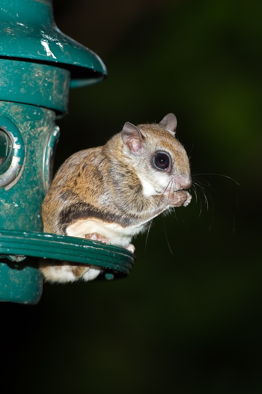 Squirrel Removal From A Rehabber