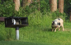 Feral Pig in Utah