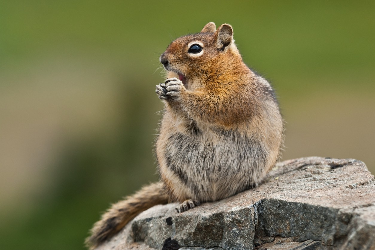 ground squirrel control and treatments for the home yard and