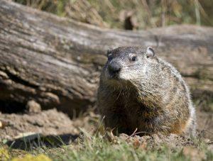 Groundhog den by tree