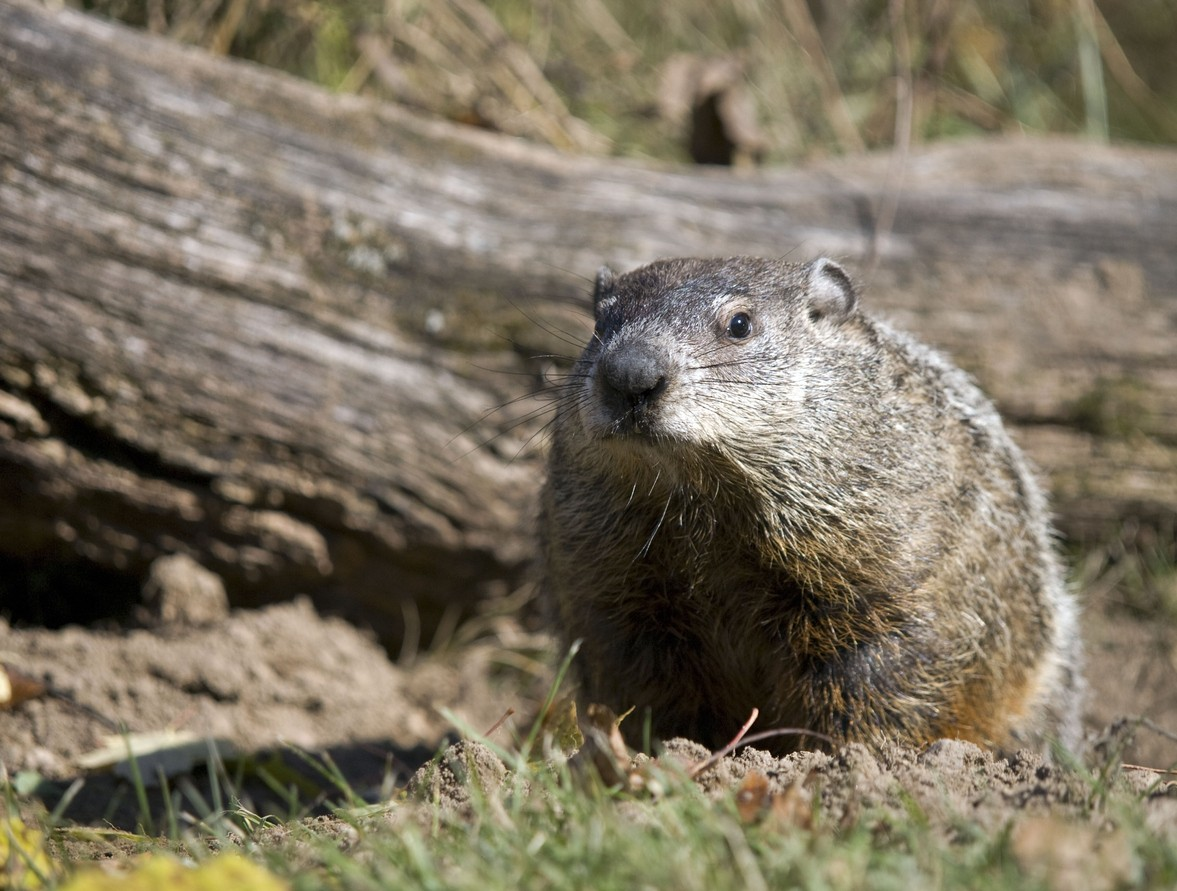 Groundhog control and repellents for the yard and garden