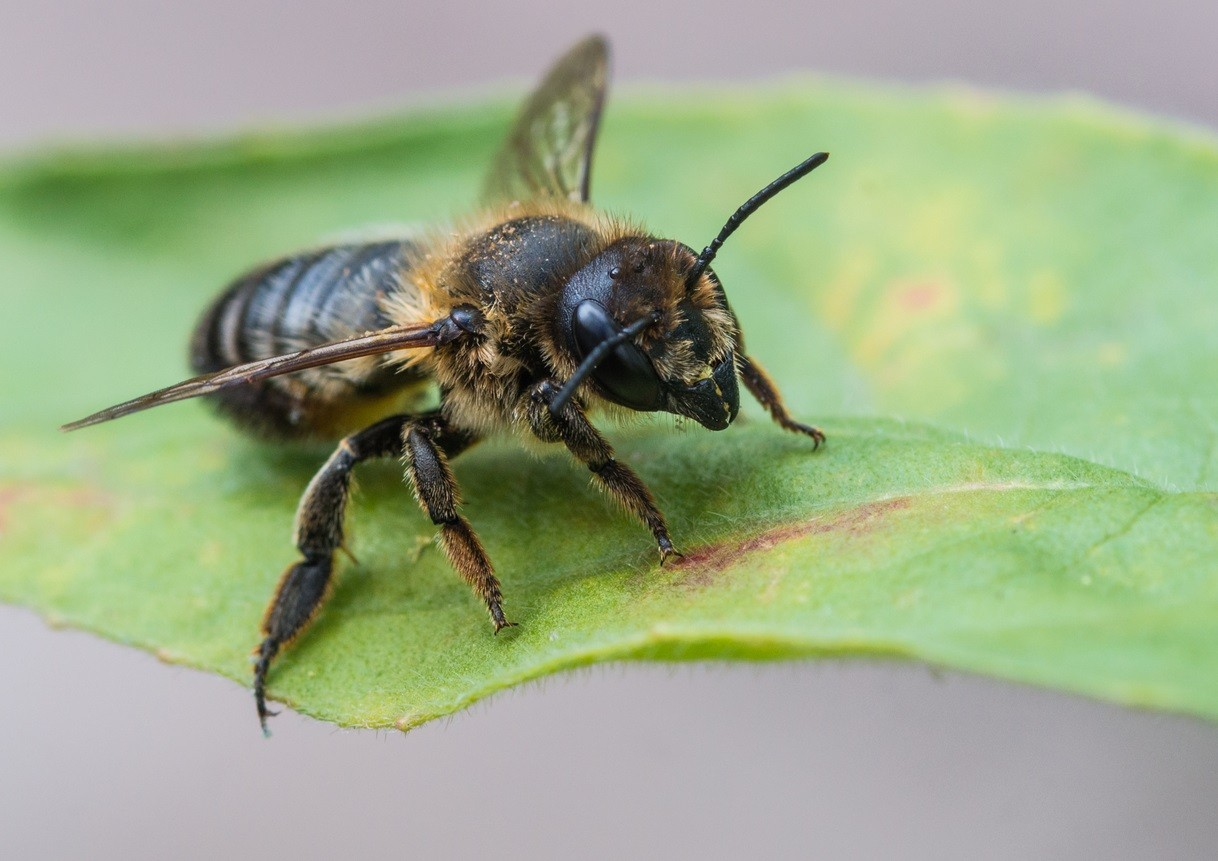 A Macro Shot Of Leaf Cutter Bee