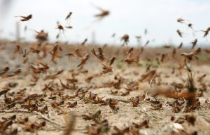 Locust swarm on the move