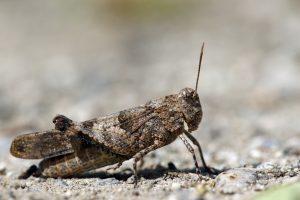 Locust closeup