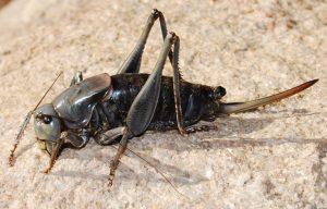 Mormon Locust Female