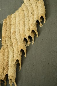 PIPE ORGAN WASP NEST