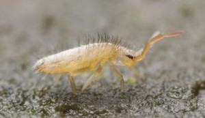 SPRINGTAIL FORAGING FOR FOOD