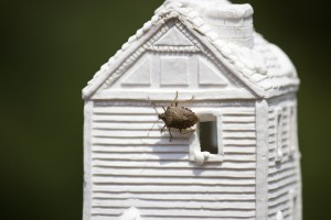 STINK BUG ON HOUSE