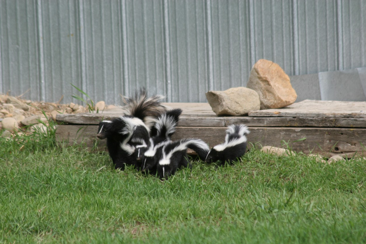 A Family Of Skunks Explore Their Surroundings Looking For Food.