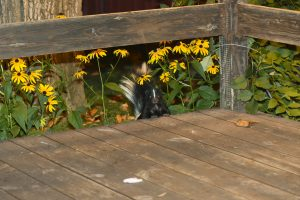 Skunk living under deck