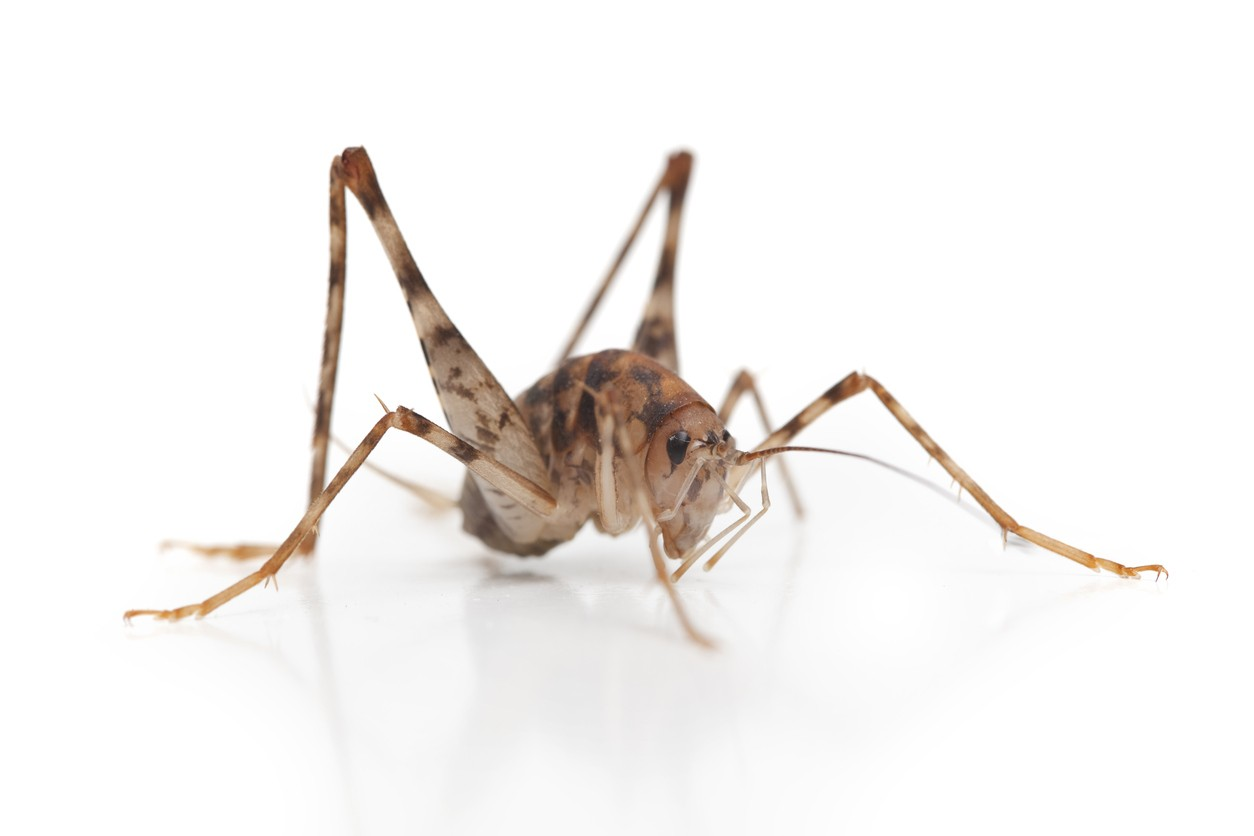 Best Tips & Treatments For Crickets
