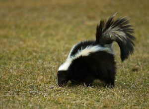 Striped Skunk looking for grubs