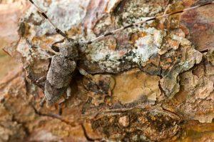 Timberman beetle