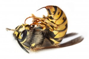 YELLOW JACKET STINGER