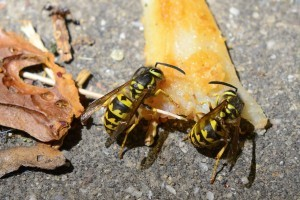 YELLOW JACKETS FEEDING ON FRUIT