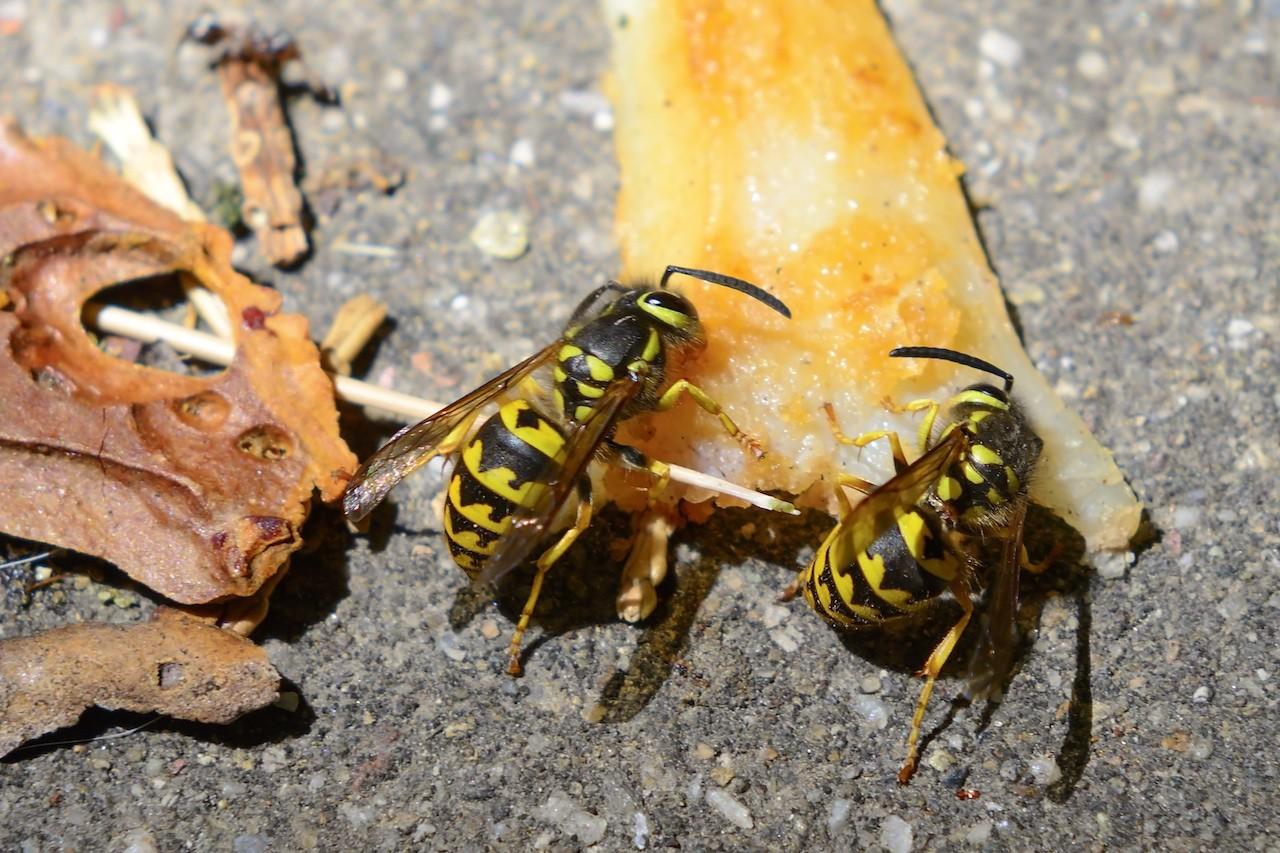 Kill yellow jackets in the ground - Yellow Jackets Feeding On Fruit