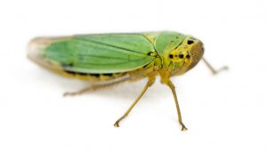 Green Adult Leafhopper