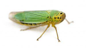 Green Adult Leafhopper