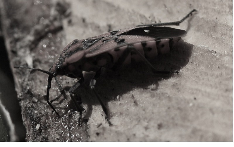 ELM SEED BUG CONTROL | PEST CONTROL CHEMICALS 800-877-7290